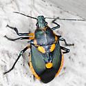 Predatory Stink Bug - Euthyrhynchus floridanus