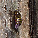 Syrphid fly - Didea fuscipes - female
