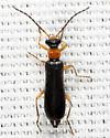 Dichelotarsus - Dichelotarsus simplex