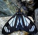 unidentified moth - Gnophaela vermiculata
