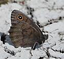 Satyr species - Cercyonis