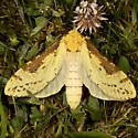 Hodges#0021 - Sthenopis thule