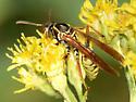 Golden Paper Wasp - Polistes aurifer