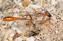 Ammophila sp. - with prey - Ammophila - female