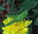 Grasshoppers - Schistocerca