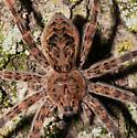 Unknown spider - Dolomedes tenebrosus