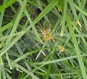 Argelenopsis spp. found on UArk campus - Agelenopsis