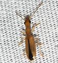 ant or beetle?? - Leptotrachelus depressus