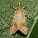Moth - Loxostege typhonalis