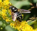 Syrphidae sp - Stratiomys badia