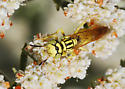 Beewolf on Buckwheat - Philanthus multimaculatus