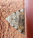 Moth sp 141 - Idia americalis