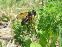 Unknown wasp - Trichiosoma