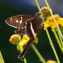 Please help us to identify this butterfly. - Chioides albofasciatus