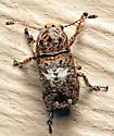 Toxonotus cornutus