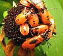 Another one not on milkweed - Lygaeus turcicus