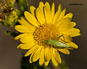 small katydid type insect - Oecanthus - female