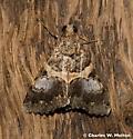 Moth - Forsebia cinis