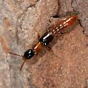 Oxybleptes davisi - female