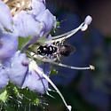 Ceratina arizonensis? - Ceratina arizonensis - female