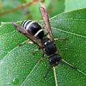 Black and white hornet - Ancistrocerus