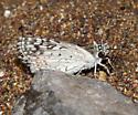 Desert Checkered-Skipper - Pyrgus philetas