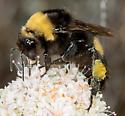 Bumble Bee - Bombus crotchii
