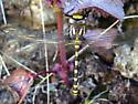 Pacific Clubtail (Gomphus kurilis)? - Cordulegaster dorsalis