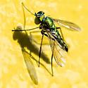 Fly? - Condylostylus - male