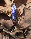 Ichneumonidae - Ichneumon centrator - female