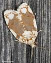 Shed wall moth - Argyrotaenia alisellana