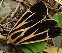 Tiger Moth - Apantesis vittata