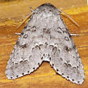Moth-140707-06 - Acronicta dactylina