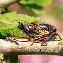 California cicada - Platypedia minor