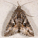 Alfalfa Looper Moth - Autographa californica