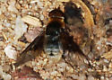 Dilley Bee Flies #5: Is this Paravilla? - Paravilla syrtis - female