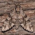 Sonoran Sphinx Moth - Ceratomia sonorensis