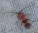 Red & black longhorn beetle - Tylosis maculatus