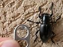 Large, black beetle w/long antenna - Moneilema
