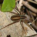 Pardosa sp? - Pardosa distincta