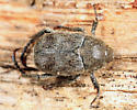 scarab - Hoplia trivialis - male
