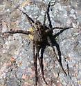 Fishing Spider sp. - Dolomedes - female
