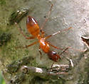 Ant ID Request - Camponotus castaneus