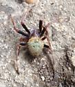 Anyone know what kind..& poisonous or not? Have never seen this kind of spider!  - Eriophora ravilla