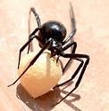Black widow? - Latrodectus mactans - female