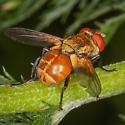 Gymnoclytia? - Gymnoclytia occidentalis - male