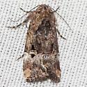 Chalcedony Midget Moth - Hodges #9679 - Elaphria chalcedonia