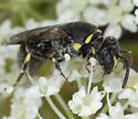 Bee IMG_2072 - Hylaeus - female