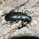 Beetle - Alobates pensylvanica