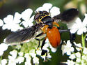 Feather-legged Fly - Trichopoda
